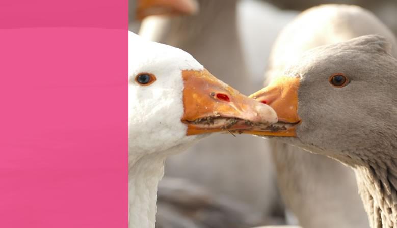 foies gras oie